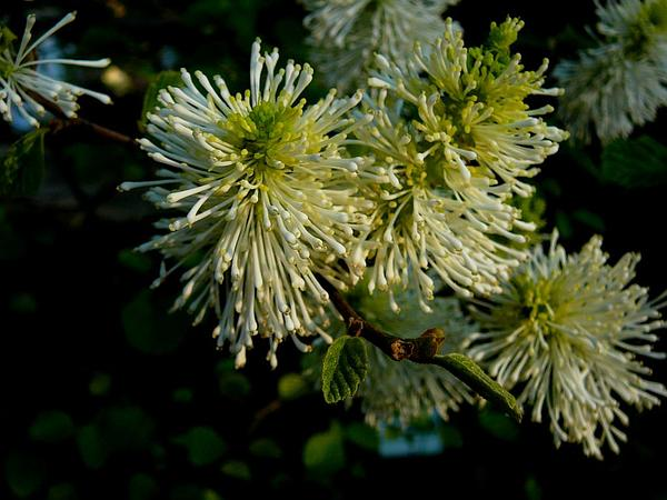 Mountain Witchalder (Fothergilla Major) https://www.sagebud.com/mountain-witchalder-fothergilla-major