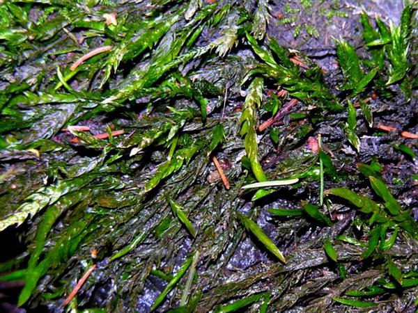 Fontinalis Moss (Fontinalis) https://www.sagebud.com/fontinalis-moss-fontinalis
