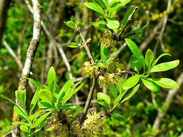 Stretchberry (Forestiera Pubescens) https://www.sagebud.com/stretchberry-forestiera-pubescens