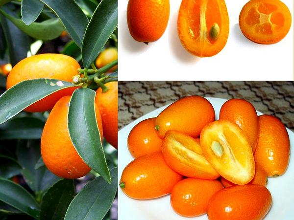 Kumquat (Fortunella) https://www.sagebud.com/kumquat-fortunella