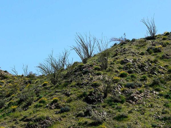 Ocotillo (Fouquieria Splendens) https://www.sagebud.com/ocotillo-fouquieria-splendens
