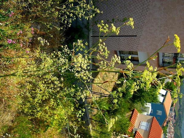 Sweet Fennel (Foeniculum Vulgare) https://www.sagebud.com/sweet-fennel-foeniculum-vulgare