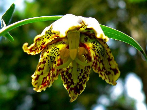 Checker Lily (Fritillaria Affinis) https://www.sagebud.com/checker-lily-fritillaria-affinis