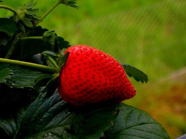 Strawberry (Fragaria) https://www.sagebud.com/strawberry-fragaria/