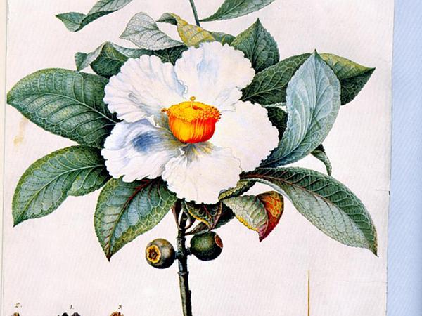 Franklin Tree (Franklinia Alatamaha) https://www.sagebud.com/franklin-tree-franklinia-alatamaha/