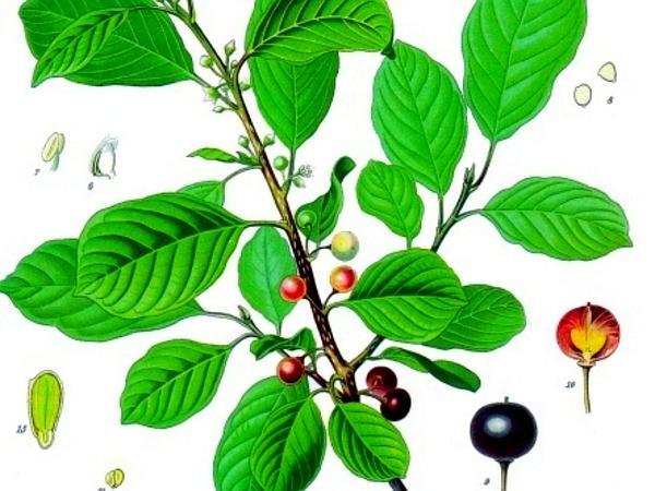 Glossy Buckthorn (Frangula Alnus) https://www.sagebud.com/glossy-buckthorn-frangula-alnus