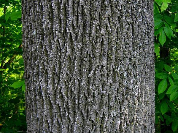 White Ash (Fraxinus Americana) https://www.sagebud.com/white-ash-fraxinus-americana