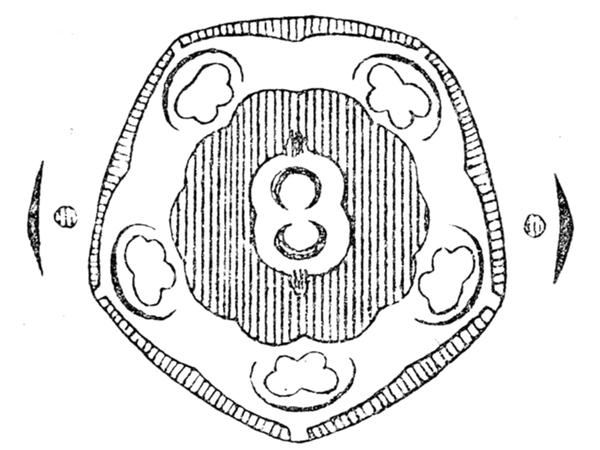 Buckthorn (Frangula) https://www.sagebud.com/buckthorn-frangula