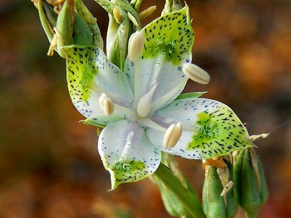 Green Gentian (Frasera) https://www.sagebud.com/green-gentian-frasera