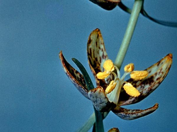 Spotted Fritillary (Fritillaria Atropurpurea) https://www.sagebud.com/spotted-fritillary-fritillaria-atropurpurea