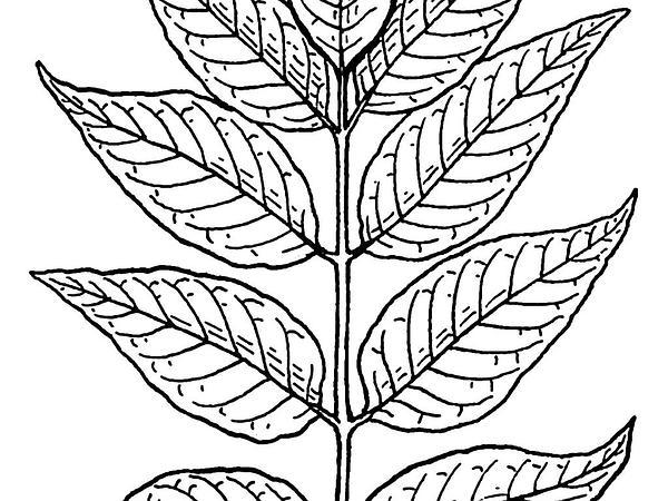 Ash (Fraxinus) https://www.sagebud.com/ash-fraxinus
