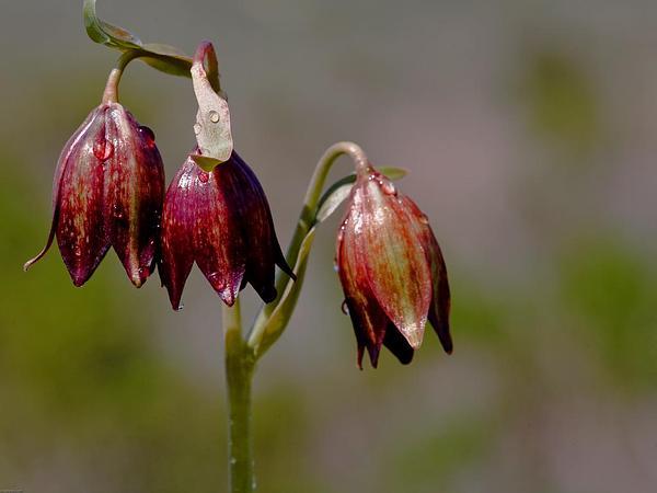 Chocolate Lily (Fritillaria Biflora) https://www.sagebud.com/chocolate-lily-fritillaria-biflora