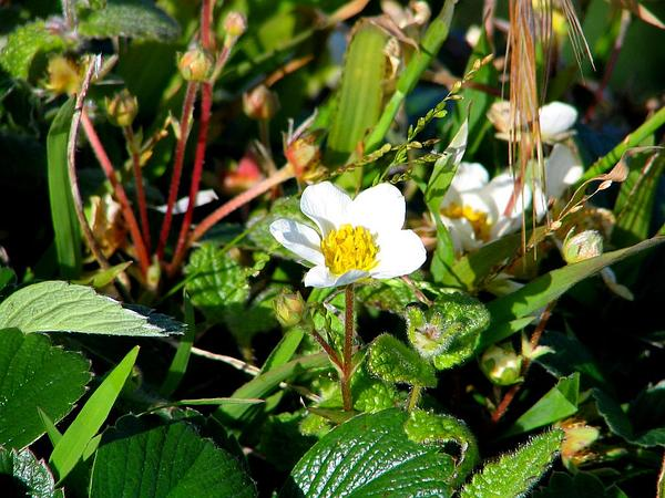 Beach Strawberry (Fragaria Chiloensis) https://www.sagebud.com/beach-strawberry-fragaria-chiloensis/