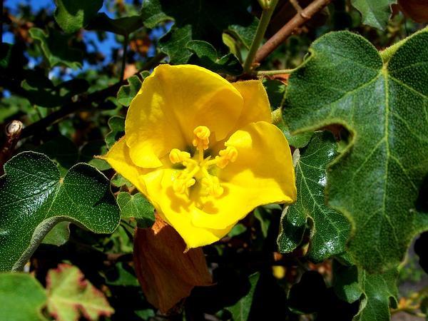 Flannelbush (Fremontodendron) https://www.sagebud.com/flannelbush-fremontodendron/