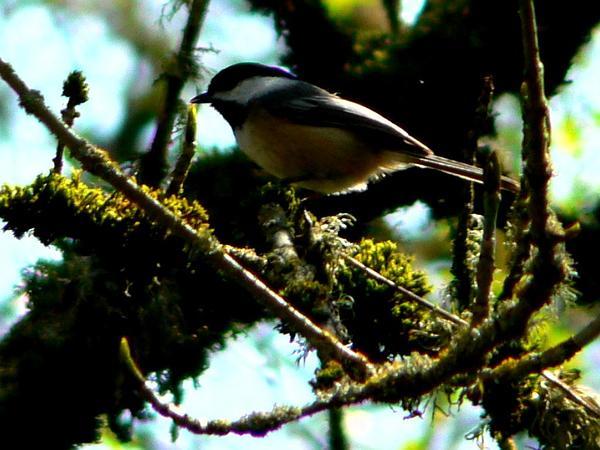 Oregon Ash (Fraxinus Latifolia) https://www.sagebud.com/oregon-ash-fraxinus-latifolia