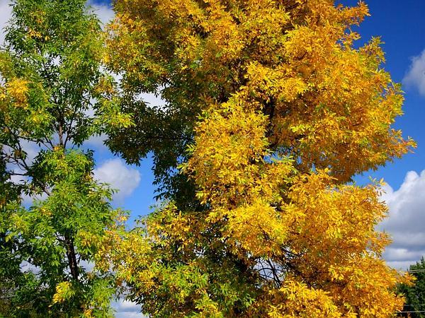 Green Ash (Fraxinus Pennsylvanica) https://www.sagebud.com/green-ash-fraxinus-pennsylvanica