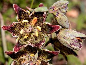 Pinewoods Fritillary