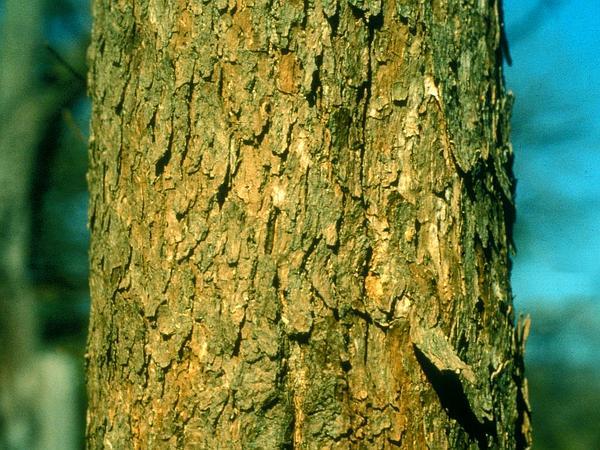 Blue Ash (Fraxinus Quadrangulata) https://www.sagebud.com/blue-ash-fraxinus-quadrangulata
