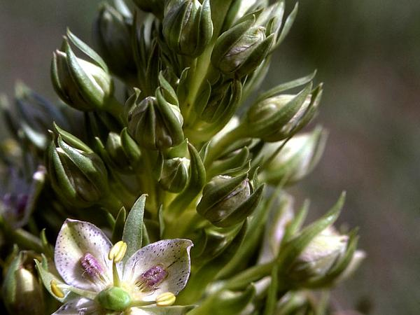 Elkweed (Frasera Speciosa) https://www.sagebud.com/elkweed-frasera-speciosa