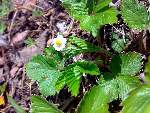 Woodland Strawberry (Fragaria Vesca) https://www.sagebud.com/woodland-strawberry-fragaria-vesca