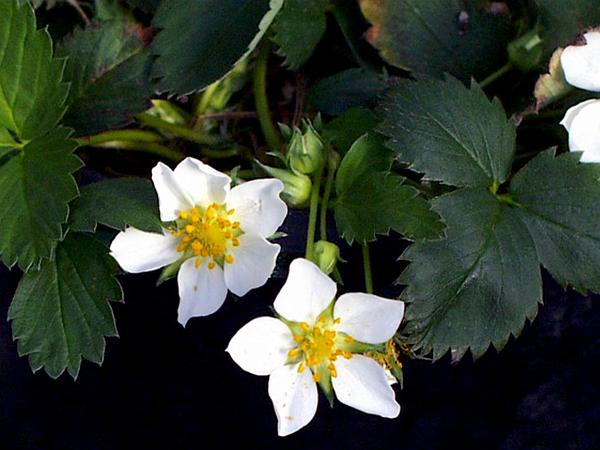 Virginia Strawberry (Fragaria Virginiana) https://www.sagebud.com/virginia-strawberry-fragaria-virginiana