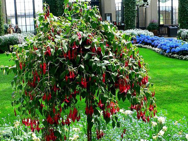 Fuchsia (Fuchsia) https://www.sagebud.com/fuchsia-fuchsia