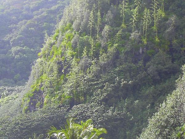 Mauritius Hemp (Furcraea Foetida) https://www.sagebud.com/mauritius-hemp-furcraea-foetida