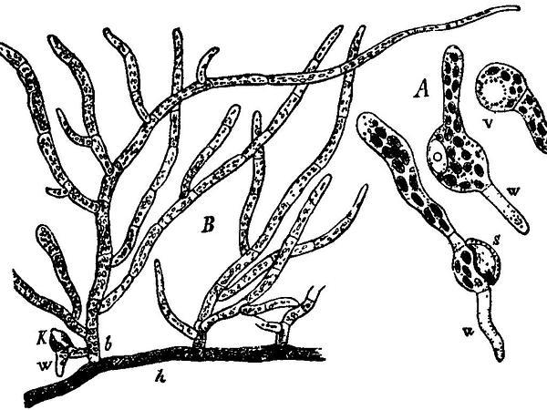 Funaria Moss (Funaria Hygrometrica) https://www.sagebud.com/funaria-moss-funaria-hygrometrica