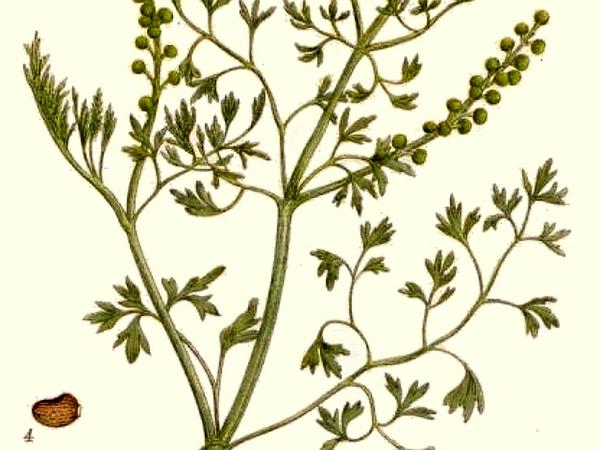 Drug Fumitory (Fumaria Officinalis) https://www.sagebud.com/drug-fumitory-fumaria-officinalis