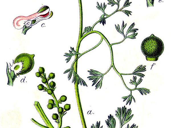 Fineleaf Fumitory (Fumaria Parviflora) https://www.sagebud.com/fineleaf-fumitory-fumaria-parviflora