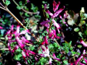 Few-Flower Fumitory