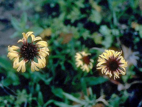 Lanceleaf Blanketflower (Gaillardia Aestivalis) https://www.sagebud.com/lanceleaf-blanketflower-gaillardia-aestivalis