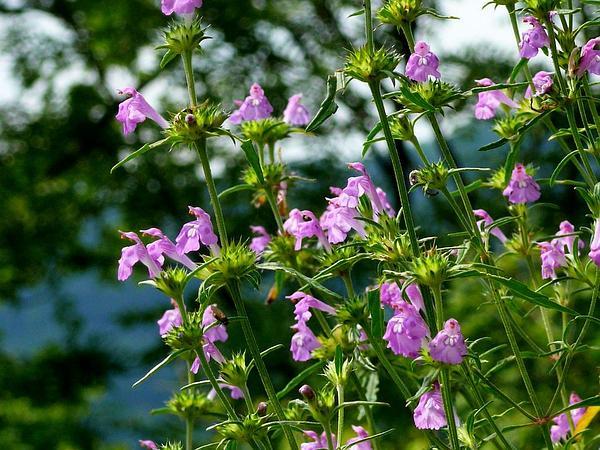 Narrowleaf Hempnettle (Galeopsis Angustifolia) https://www.sagebud.com/narrowleaf-hempnettle-galeopsis-angustifolia