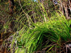 Forest Sawsedge