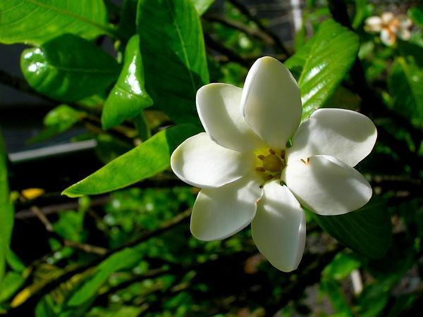 Forest Gardenia (Gardenia Brighamii) https://www.sagebud.com/forest-gardenia-gardenia-brighamii