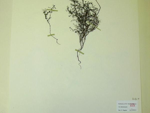 Lamarck's Bedstraw (Galium Divaricatum) https://www.sagebud.com/lamarcks-bedstraw-galium-divaricatum/