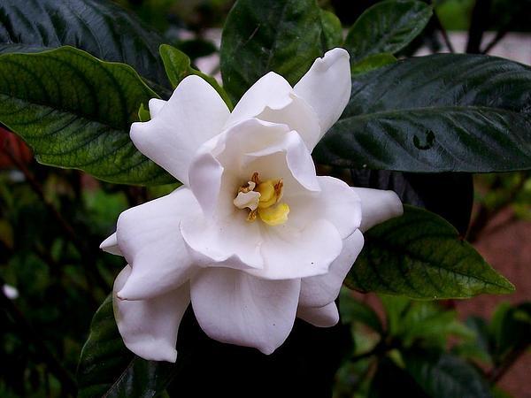 Cape Jasmine (Gardenia Jasminoides) https://www.sagebud.com/cape-jasmine-gardenia-jasminoides