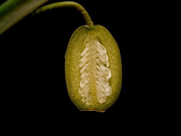 Snowdrop (Galanthus) https://www.sagebud.com/snowdrop-galanthus