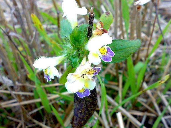 Hempnettle (Galeopsis) https://www.sagebud.com/hempnettle-galeopsis
