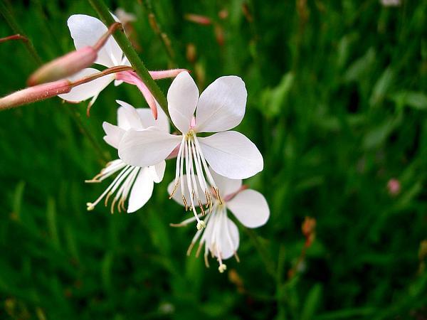 Lindheimer's Beeblossom (Gaura Lindheimeri) https://www.sagebud.com/lindheimers-beeblossom-gaura-lindheimeri/