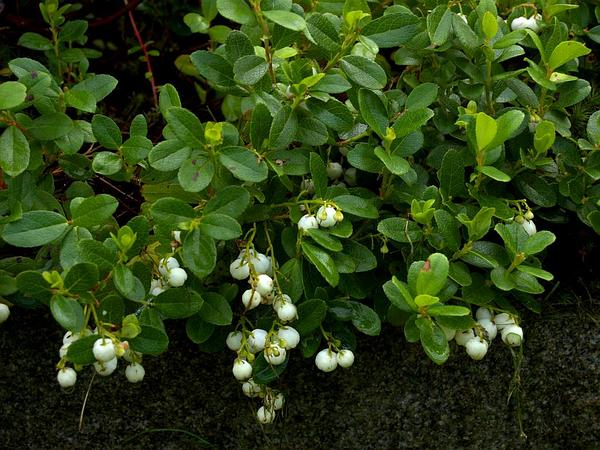 Miquel's Spicywintergreen (Gaultheria Miqueliana) https://www.sagebud.com/miquels-spicywintergreen-gaultheria-miqueliana