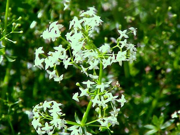 False Baby's Breath (Galium Mollugo) https://www.sagebud.com/false-babys-breath-galium-mollugo