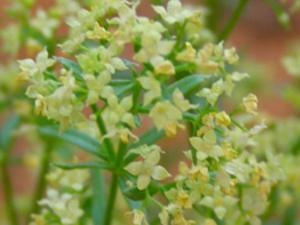 Shrubby Bedstraw