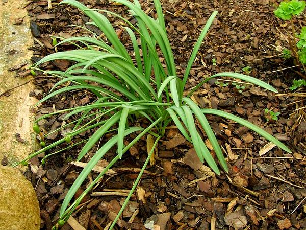 Snowdrop (Galanthus Nivalis) https://www.sagebud.com/snowdrop-galanthus-nivalis