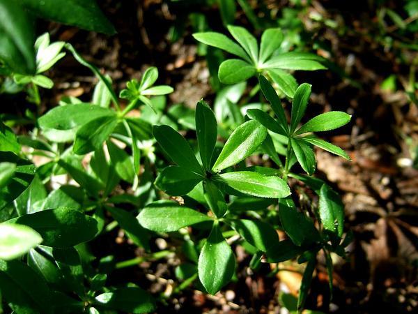Sweetscented Bedstraw (Galium Odoratum) https://www.sagebud.com/sweetscented-bedstraw-galium-odoratum