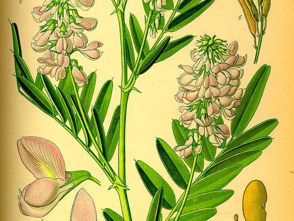 Professor-Weed (Galega Officinalis) https://www.sagebud.com/professor-weed-galega-officinalis/