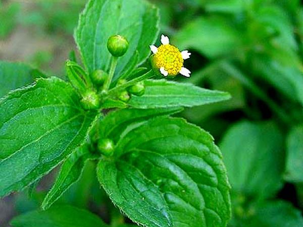 Gallant Soldier (Galinsoga Parviflora) https://www.sagebud.com/gallant-soldier-galinsoga-parviflora