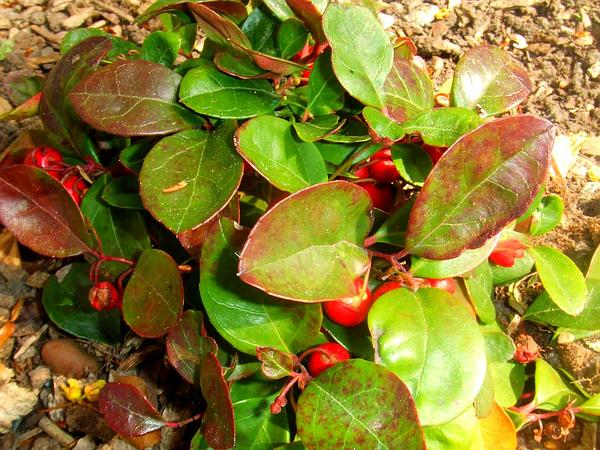 Eastern Teaberry (Gaultheria Procumbens) https://www.sagebud.com/eastern-teaberry-gaultheria-procumbens/