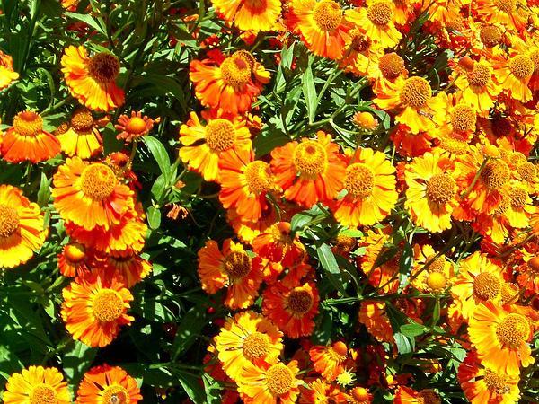 Firewheel (Gaillardia Pulchella) https://www.sagebud.com/firewheel-gaillardia-pulchella