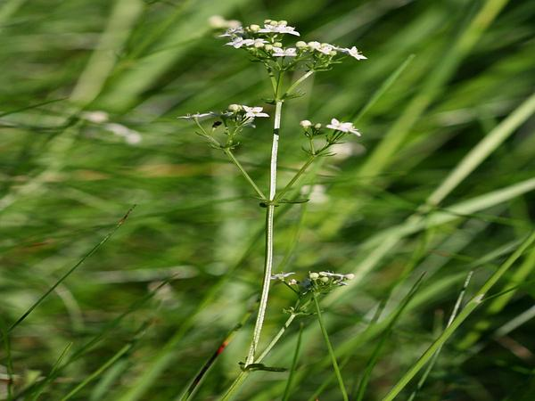 Heath Bedstraw (Galium Saxatile) https://www.sagebud.com/heath-bedstraw-galium-saxatile